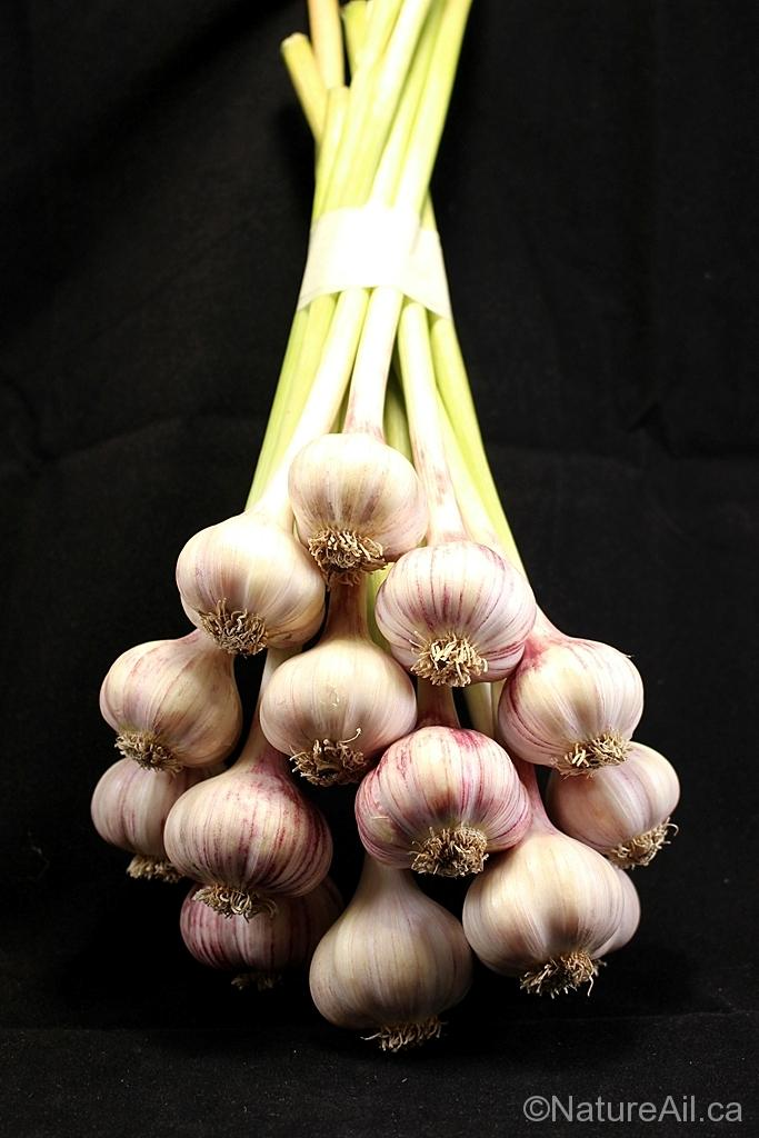 Ail Garlic - Persian Star - Bouquet frais fresh