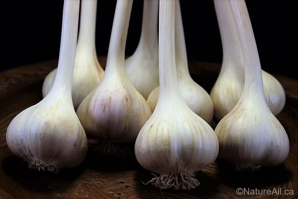 Ail Garlic - Siberian - Bâton (medium)