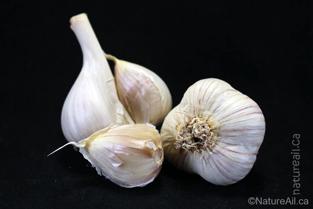 Ail Garlic - Siberian - Bulbe et Caïeu
