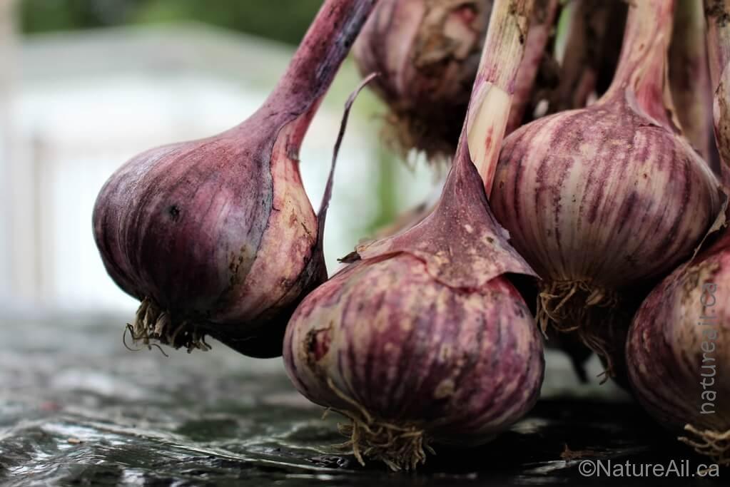 Ail Garlic – Deep Purple – Bulbes Mauves - natureail.ca