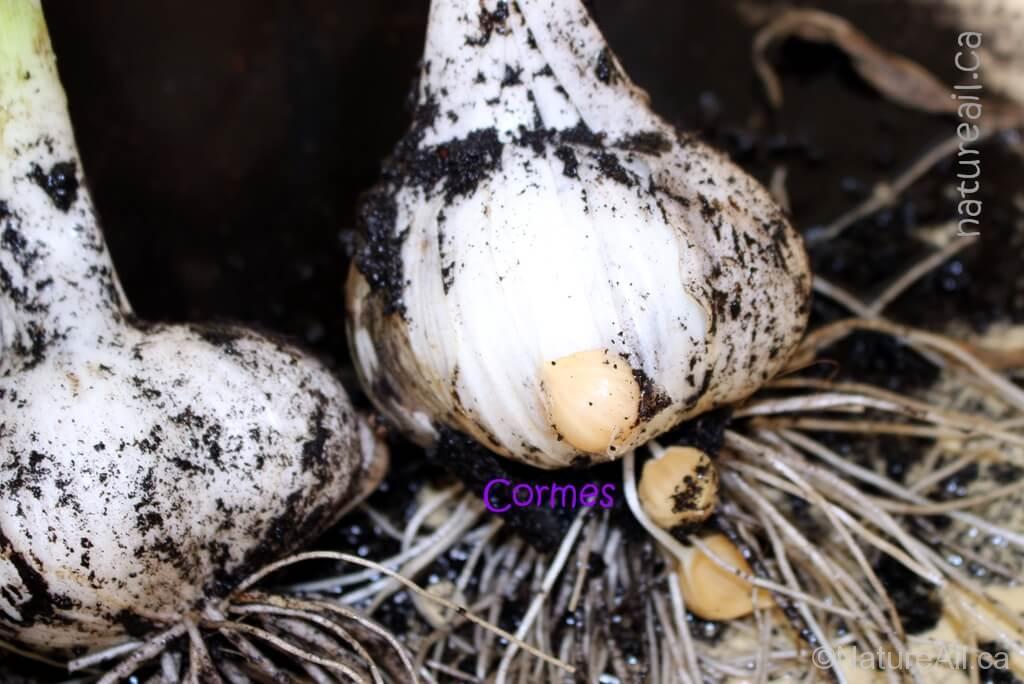 Ail Garlic - Elephant - Cormes
