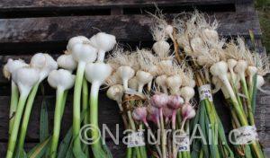 Ail Garlic - Échantillons pour Date de Récolte / Samples for Harvest Date