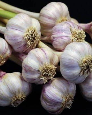 Ail Garlic - Tibetan - Bulbes