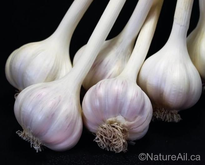 Ail Garlic - Rose de Lautrec - Creole