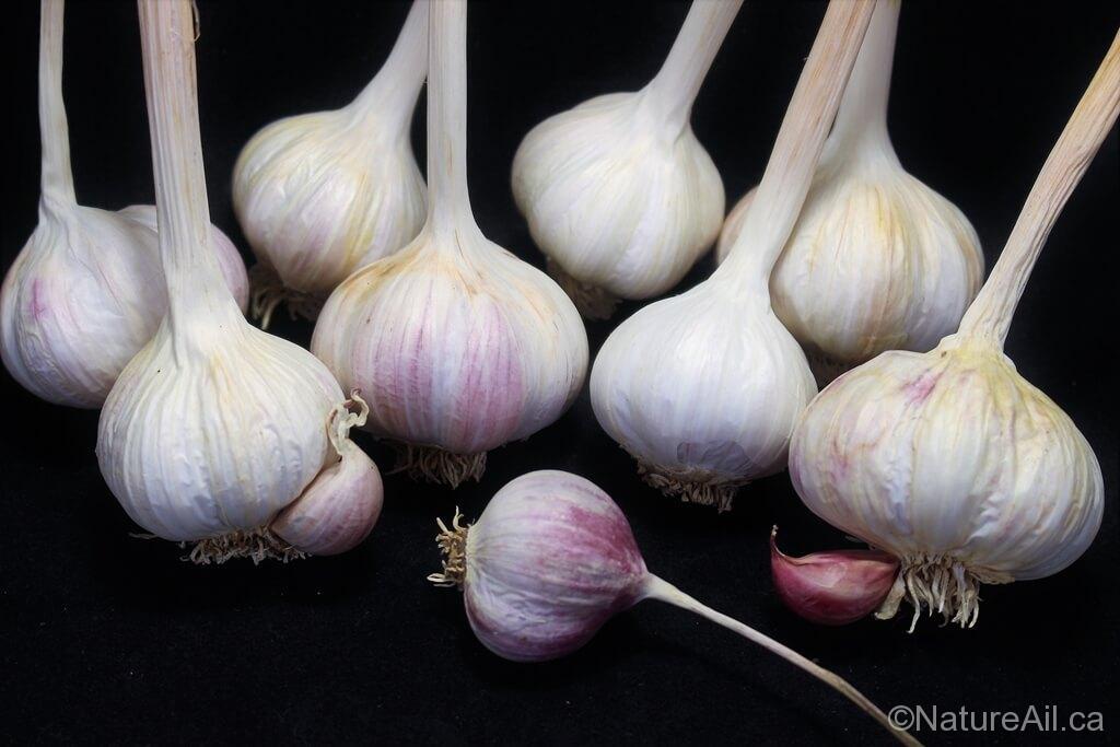 Ail Garlic - Barcelona Red Spanish - Bulbes