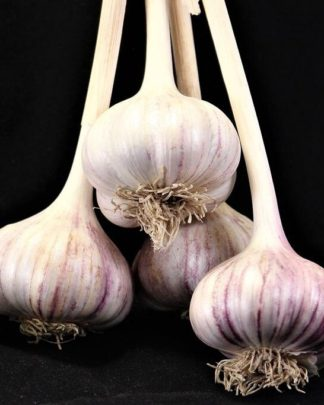 Ail Garlic - Red Rezan - Bulbes