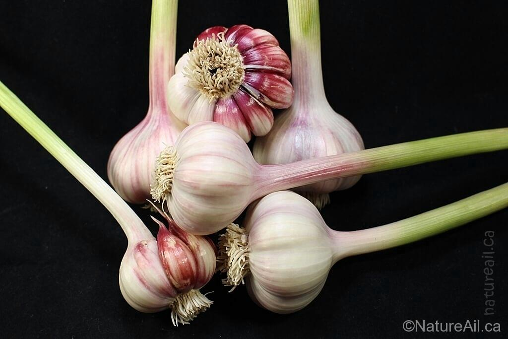 Ail Garlic - Barcelona Red Spanish - Bulbes et Caïeux