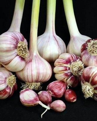 Ail Garlic - Creole Red - Bulbes et Caïeux - natureail.ca