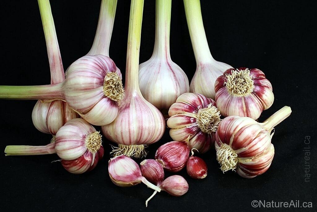 Ail Garlic - Creole Red - Bulbes et Caïeux - natureail.ca