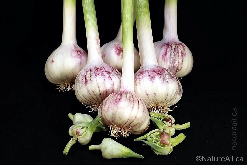 Ail Garlic - Baba Franchuk - Bulbe Bulbilles