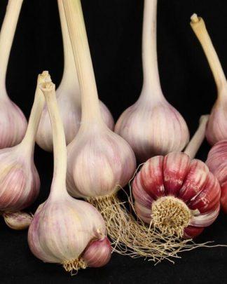 Ail Garlic - Aglio Rosso - Bulbes et Cormes