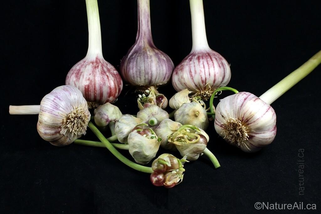 Ail Garlic - Baba Franchuk's - Bulbes et Bulbilles