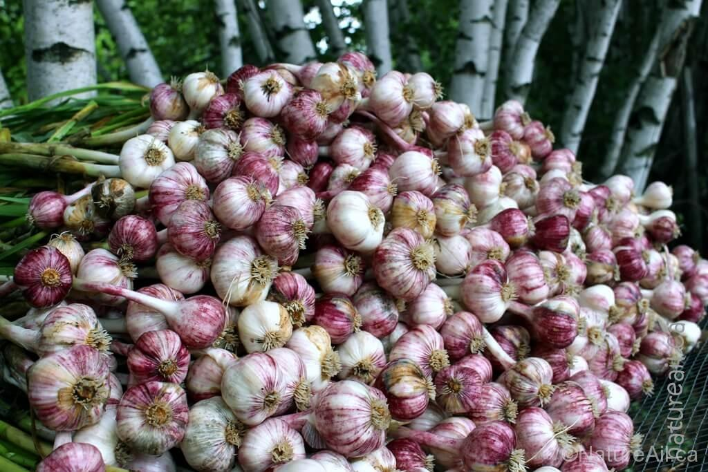 Ail du Québec Garlic - Plum Crazy - Bulbes empilés à la récolte - natureail.ca