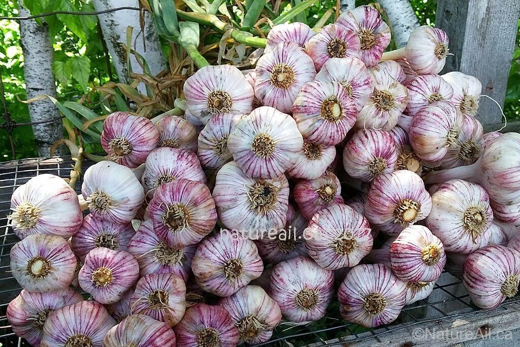 Ail Garlic - Deep Purple - Bulbes - natureail.ca