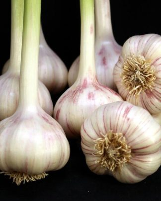Ail Garlic - Persian Star - Bulbes - natureail.ca