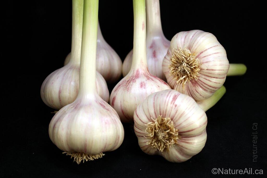 Ail Garlic - Persian Star - Bulbes - natureail.ca