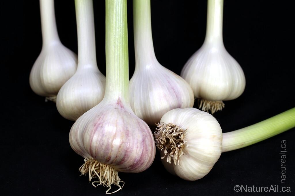 Ail Garlic - Siberian - Bulbes