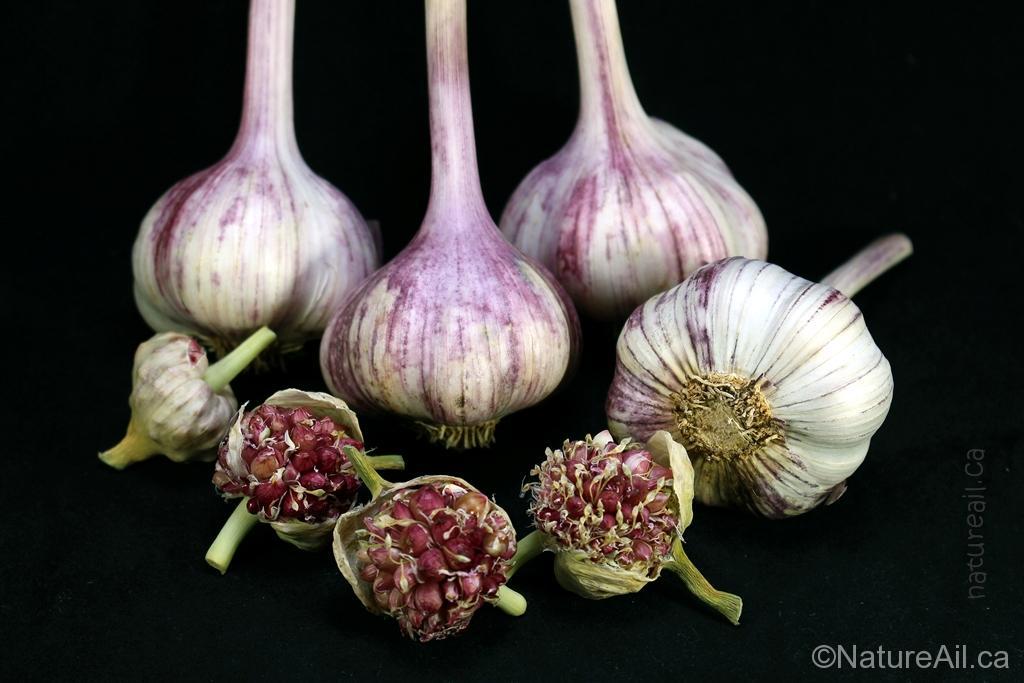 Ail Garlic - Deep Purple - Bulbes Bulbilles - natureail.ca