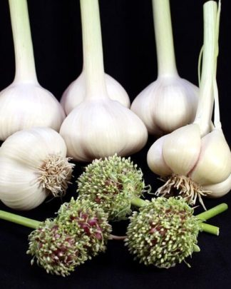 Ail Garlic - Romanian Red - Bulbes Bulbilles - natureail.ca