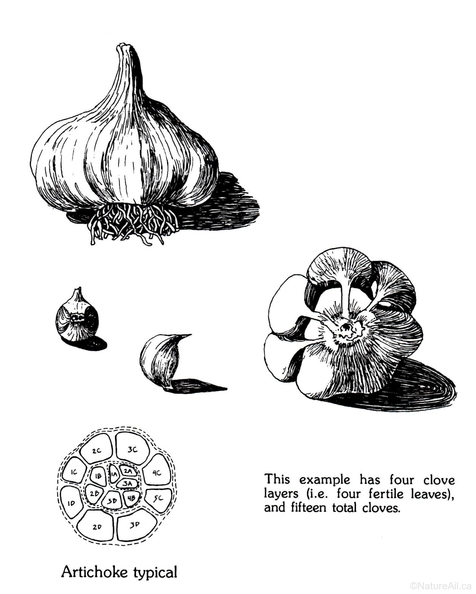 Illustration d'un Bulbe d'Ail du Groupe Artichoke (par Jim Anderson)